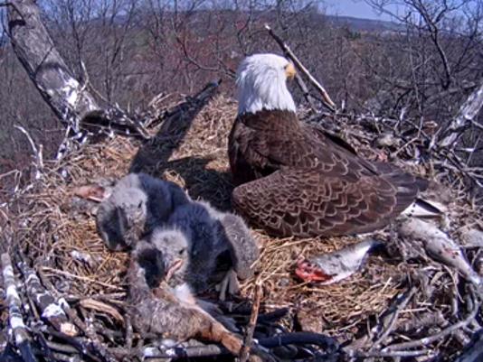 Eaglets.png