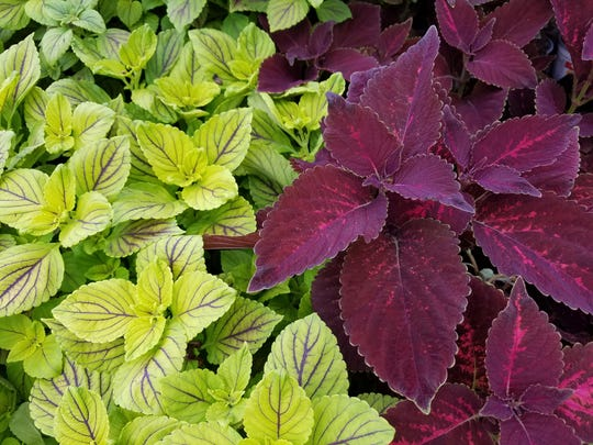 Make sure to plant coleus in shady areas of your garden.