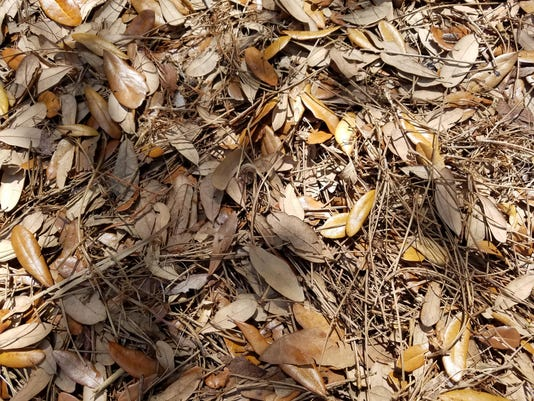 mulch - dead leaves and pine needles