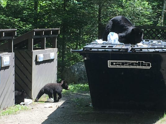Sow bear with cubs at dumpster