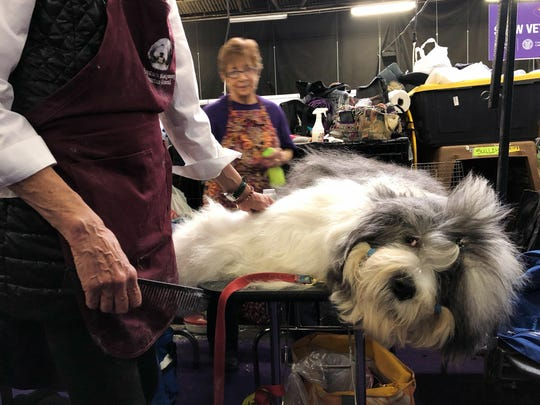 Monty, an Old English Sheepdog, is groomed ahead of competing at the Westminster Kennel Club dog show in New York on Feb. 11, 2019. He's known for sleeping on the competition - literally. He fell asleep before a recent show in Canada while getting groomed, then woke up and won the Best in Breed.
