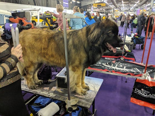 Westminster dog show 2019: Do elite show dogs even know that they're champions?