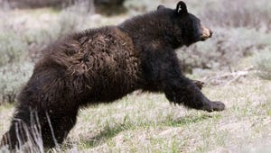 A black bear runs to freedom after its release.  Nevada Department of Wildlife released five black bears into the Carson Range of the Sierra Nevada on May 29, 2008.