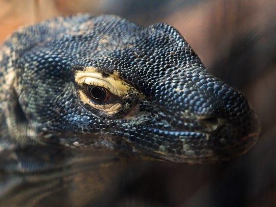 A female Komodo dragon.The Brevard Zoo is preparing