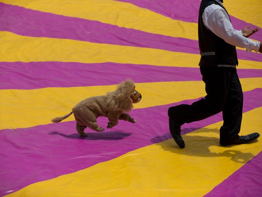 A clown performs with a dog in a lion's costume, during