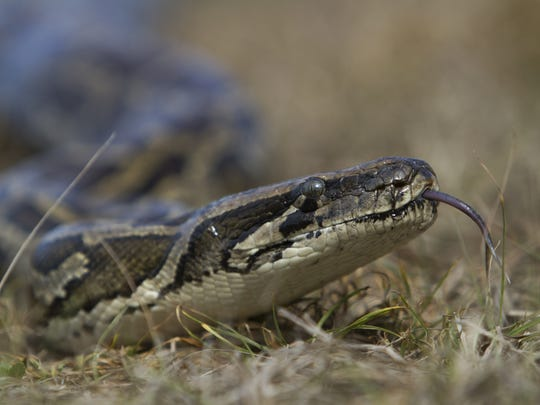 A Burmese python slithers across a grassy field during a training session near Naples.