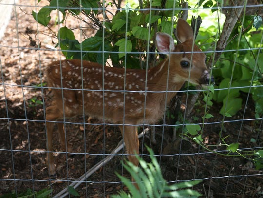 Vennie, a three-week-old fawn found in northeast Iowa in 2016, was bottle fed by volunteers to prepare him for return to the wild.