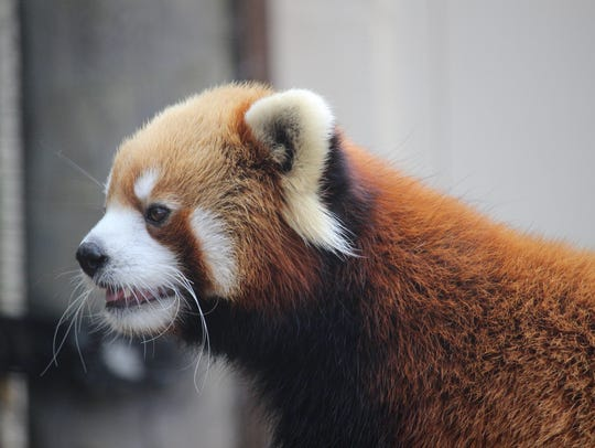 See Ferguson the red panda on Sept. 16 for International