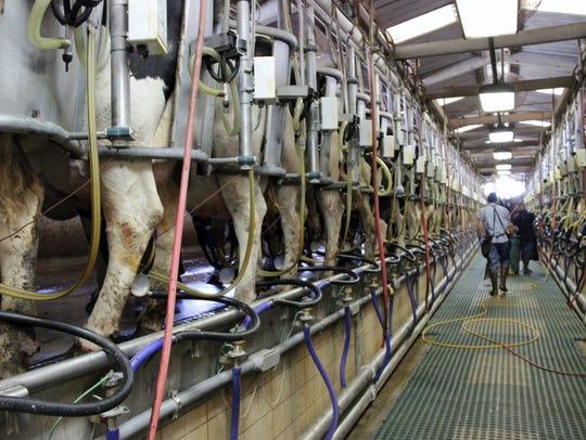 Employees milk cows at Visalia's Rancho Sierra Vista