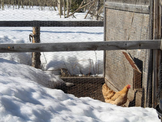 The chicken coop at the Joe Matt ranch shows that spring has yet to come to some portions of the Blackfeet Reservation.