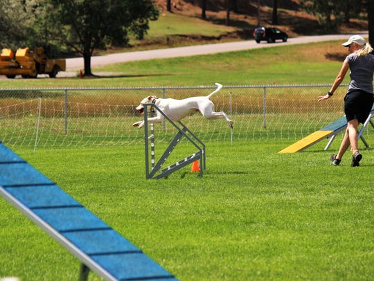 A Pit bull makes an amazing jump while his handler/owner uses her hand commands to direct him on his way heading toward the final stretch.