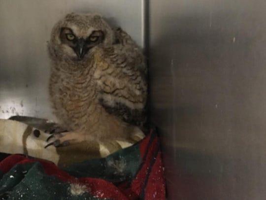 The baby owl