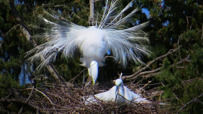 flaired egrets