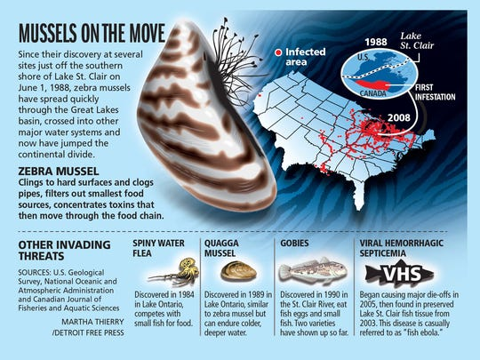 Mussels on the move
