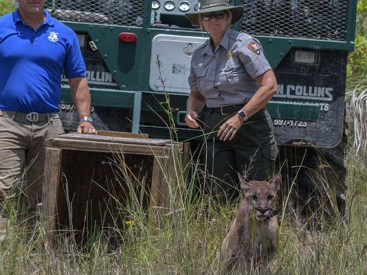 Florida panther release
