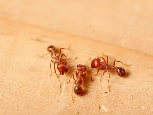 Three red fire ants on wood surface