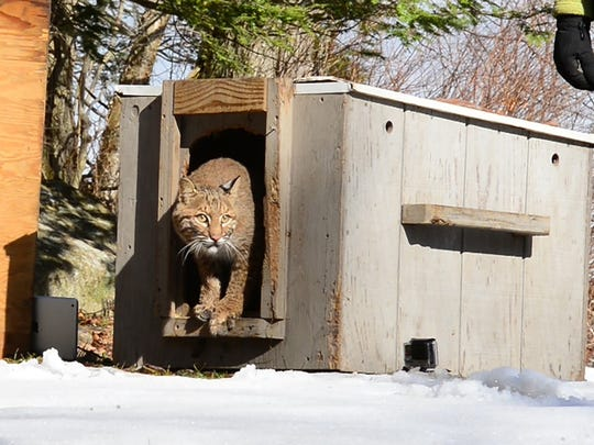 In March 2017 the New Jersey Division of Fish and Wildlife released into the wild a bobcat that had been rehabilitated from a serious leg injury after being struck by a car late last year in Passaic County. The bobcat's release took place at Waywayanda State Park in Passaic County.