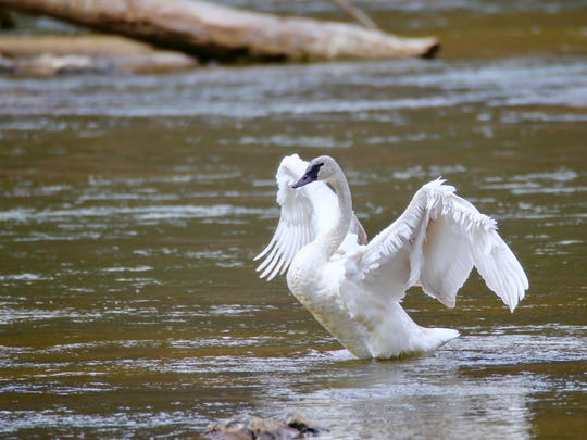A trumpeter swan, extremely rare for Western North