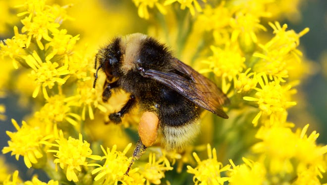 This undated photo provided by Rich Hatfield shows a western bumble bee (Bombus occidentalis) lands on Canada goldenrod. The Pacific Northwest Bumble Bee Atlas for Idaho, Oregon and Washington that started this month aims to accumulate detailed information about bumblebees with the help of hundreds of citizen scientists spreading out across the three states. (Rich Hatfield/The Xerces Society via AP)