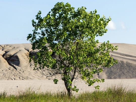 "A tree stands in front of a ""chat"" pile, or dust contaminated"