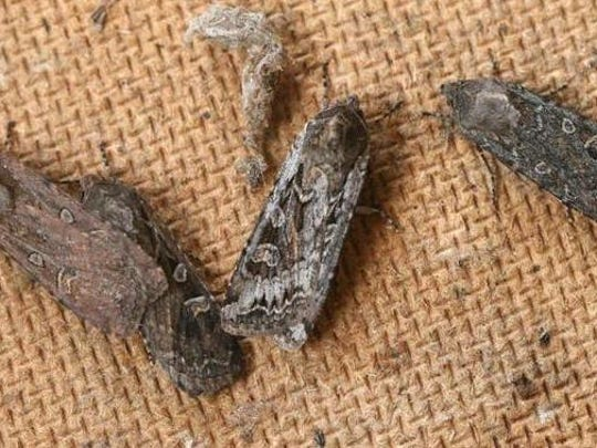 Army cutworms, commonly known as miller moths.