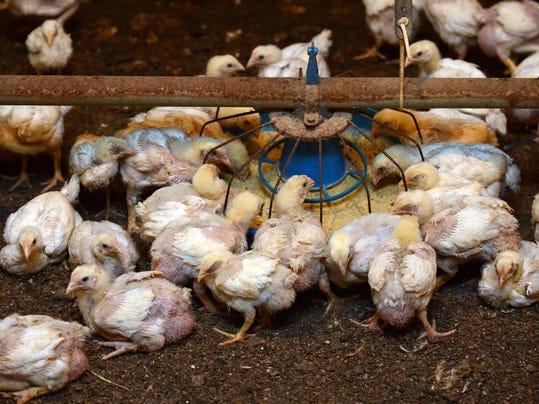 -TGD-chicken-020514-4252.jpg_20140224.jpg
