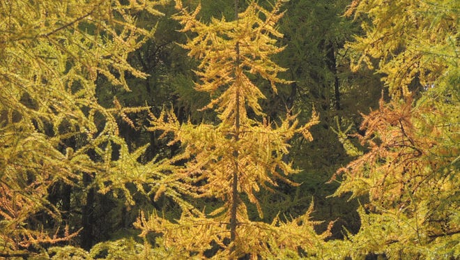 The tamaracks display their billowing masses of brassy gold needles as the winds of late autumn descend across the Wisconsin wilds.