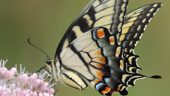 August is swallowtail season across Wisconsin and you can find several species taking flight as this year's broods begin to reach adulthood.