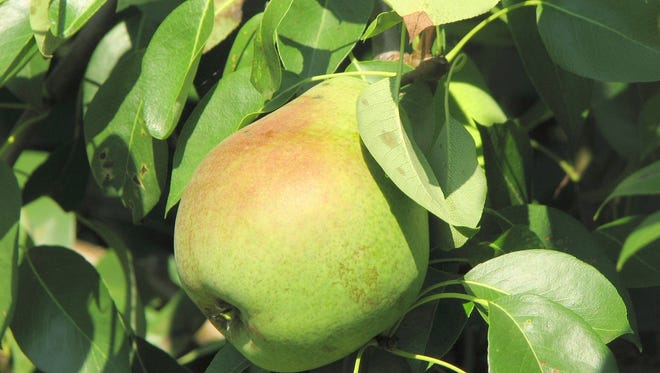 Pears should be harvested when they are mature but before they are fully ripened.