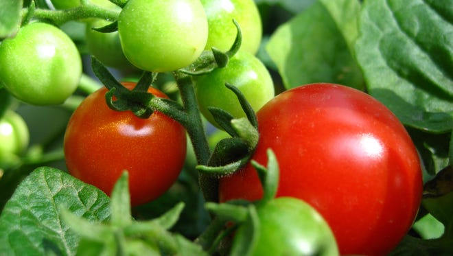 Tomatoes are a staple of gardens in Arkansas. Growing great tomatoes requires skill and knowledge.