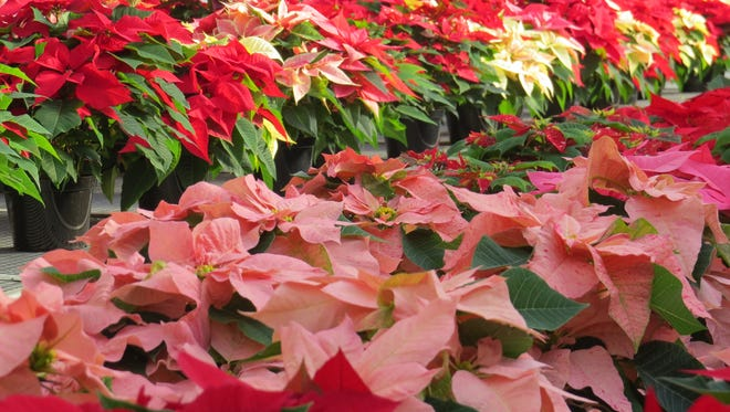 Rooted poinsettia's cuttings need to be planted by Aug. 1 to ensure the lovely blooms will be ready for the holidays.