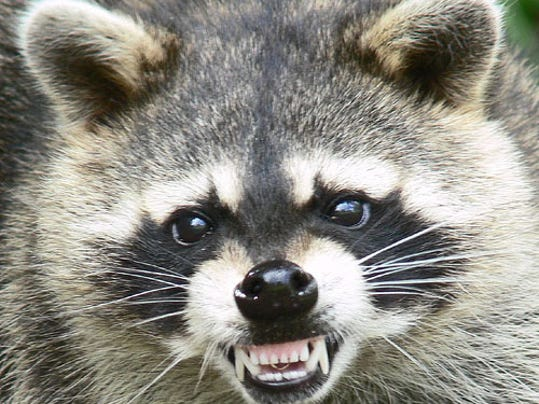 -raccoon.jpg_20090713.jpg