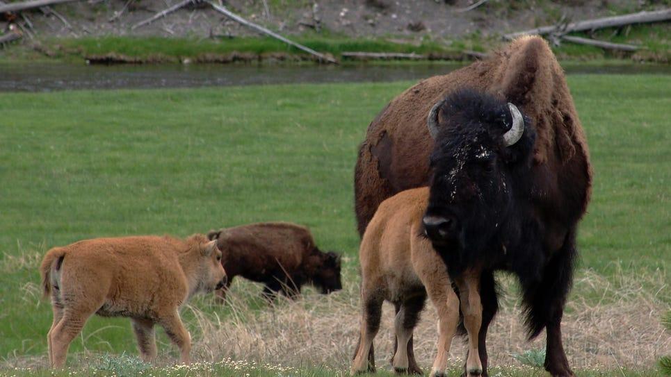 FAL 0628 Science of bison-bison nursing 2.jpg_20150609.jpg