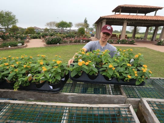 Volunteer Sarah Norem moves plants Wednesday, March 30, 2016, at the South Texas Botanical Gardens & Nature Center in preparation for the upcoming Big Bloom at the center Saturday. The annual plant sale features $1 admission for nonmembers and a variety of activities.
