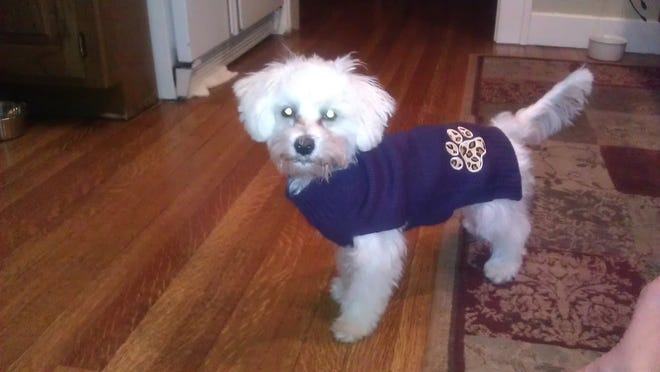 This maltese-poodle mix was allegedly thrown out of a third-story window on Saturday and killed. A Springfield man has been charged with breaking into a woman's house, taking the dog and throwing it out the window.