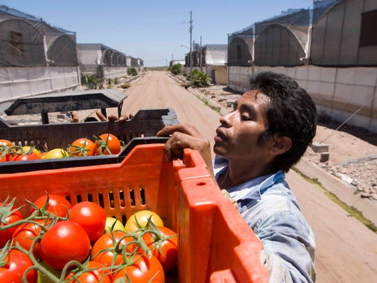 Fortino Pascual Gutierrez, a Del Campo employee, hauls tomatoes near Altata, Mexico. A tax on produce could be passed along to U.S. consumers.