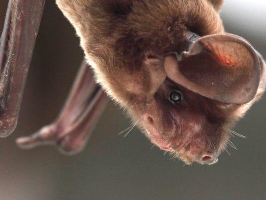 Bat nesting season