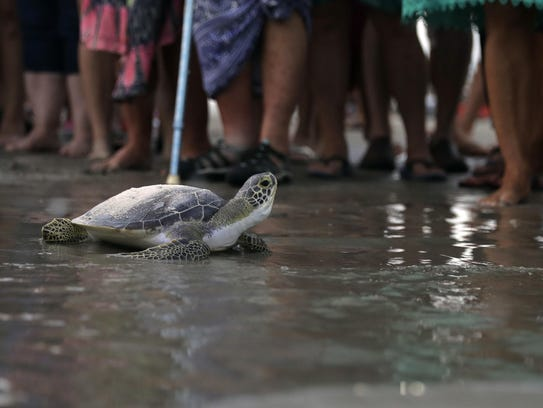 A sea turtle named Picasso carries the ashes of Tony