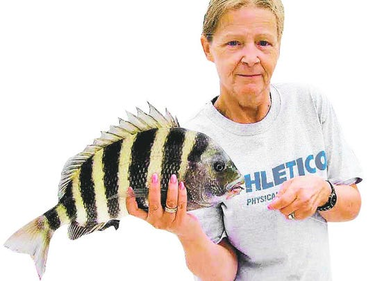 Kim Fischer's sheepshead, caught on her Fishbuster Charter in Estero Bay, was one of many making a fall appearance with this week's cool front.