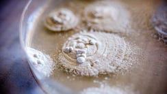 The fungus Beauveria bassiana grows in a petri dish