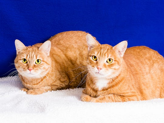 Featured Pets: We're Bandito and Amber, sweet but shy kitties who are sensitive and gentle. Once we get to trust you, we are quite loyal! We arrived together and would love to go home together because life is just more fun with two of us. We love sleeping in the sun, soft blankets and being talked to. Will you take us home?