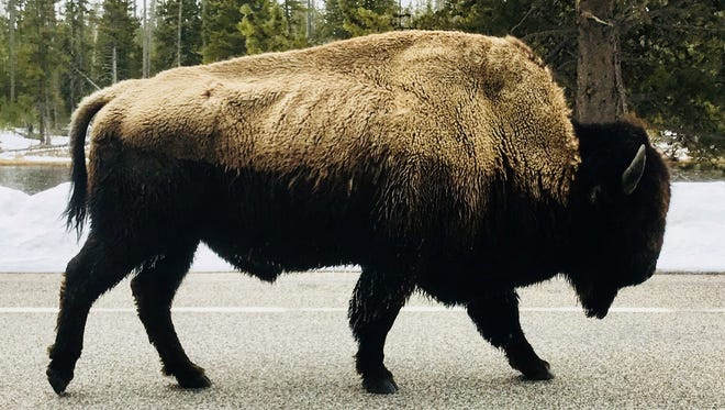 A bison walks down Grand Loop Road in Yellowstone National Park.