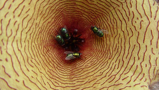 Odors exuded from the center of the flower lures flies to lay their eggs and pollinate them.