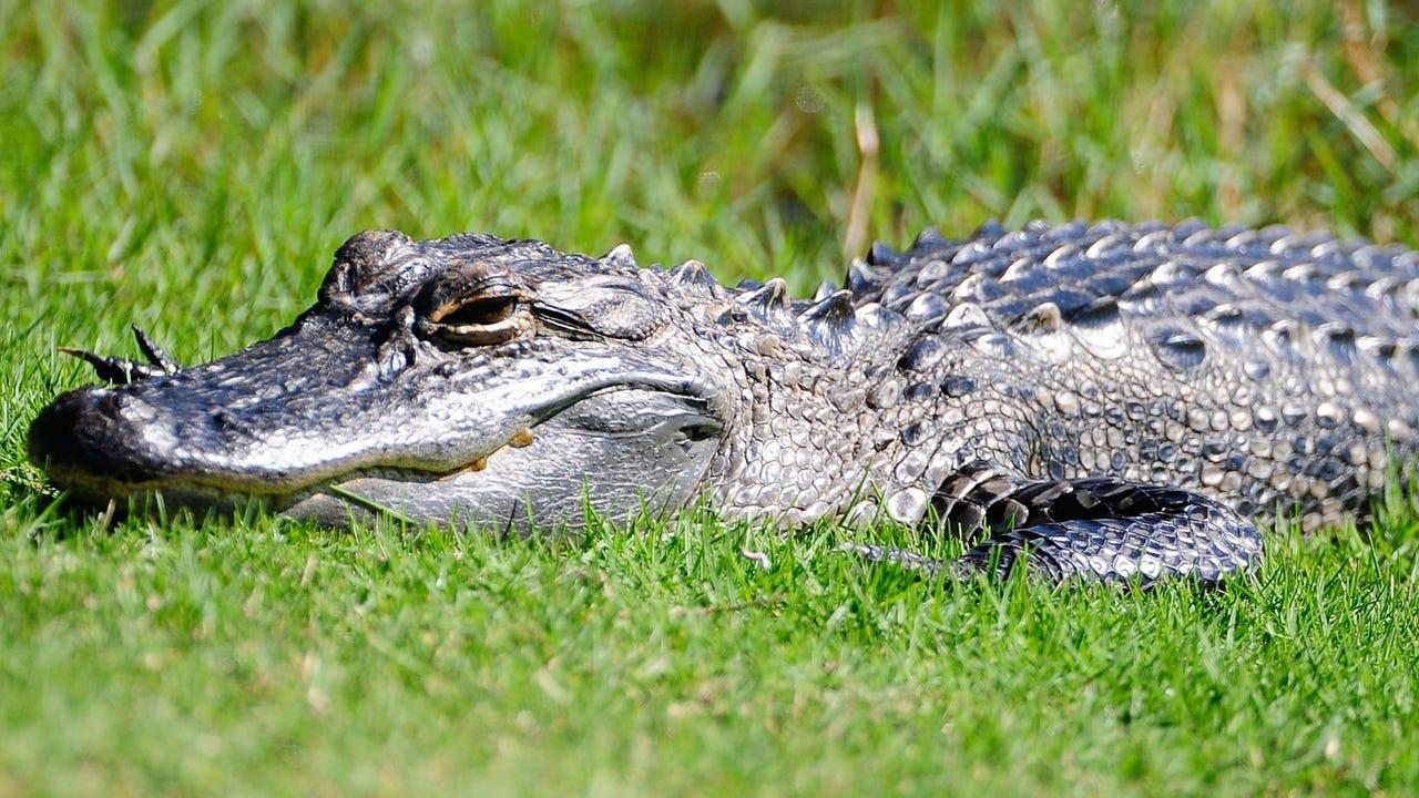 Golf ball diver survives alligator attack