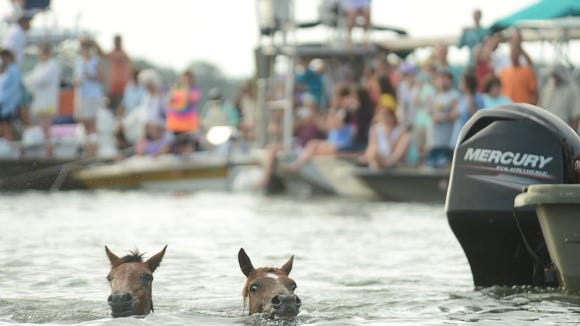 A pair of Chincoteague Ponies makes the 90th annual Chincoteague Pony Swim across the Assateague Channel to the Island of Chincoteague, Va.