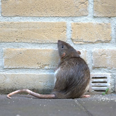 Green Bay residents call on city leaders to address rat problem