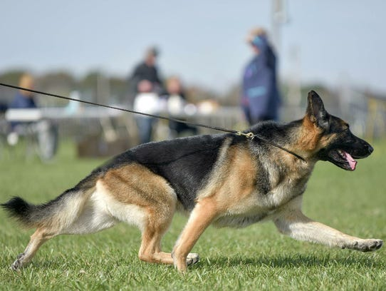 Fanucci, a 5-year-old German shepherd co-owned by a retired vet tech from Milton, was scratched from the Westminster Kennel Club Dog Show two weeks ago after he broke a blood vessel in his left ear, the one closest to the judges. Fanuuci was considered a favorite to win a Best in Show.