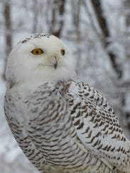 This male snowy owl recently arrived to his permanent