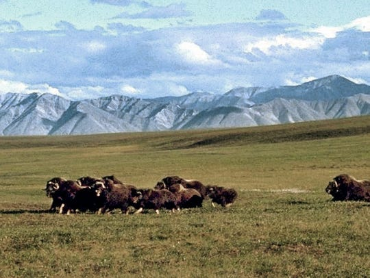 This file image provided by the Arctic National Wildlife