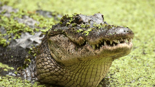 An American alligator rises out of Lettuce Lake at the Corkscrew Swamp Sactuary.